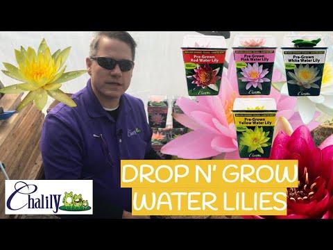 Drop-N-Grow Lilies