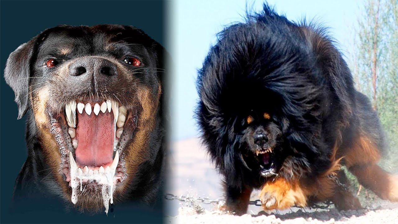 The Most Dangerous Dogs In World