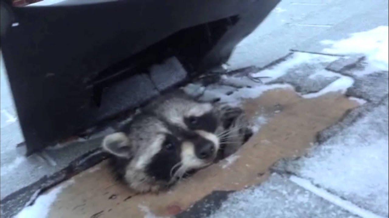 Roof Vent Raccoon In Toronto Youtube