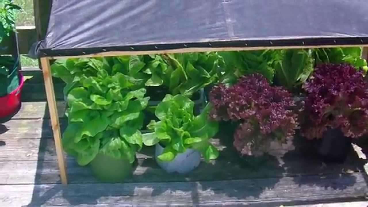 Grow Lettuce 2015 Diy Heat Resistant Sun Shade Youtube