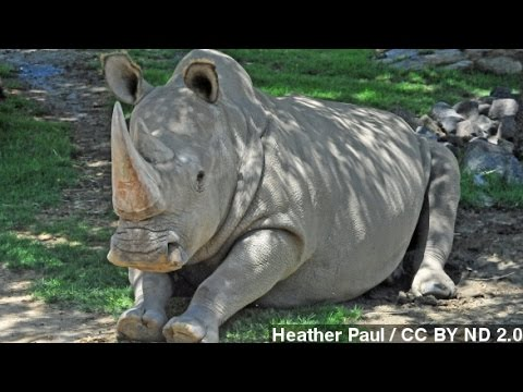White Rhino's Death In Kenya Means Just 6 Are Left