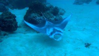 Dive with a baby manta ray inside the lagoon.dive site : toopua location: bora boramusic: kaddish - dhruva alimanhttp://www.dhruvaaliman.com/https://www.yout...