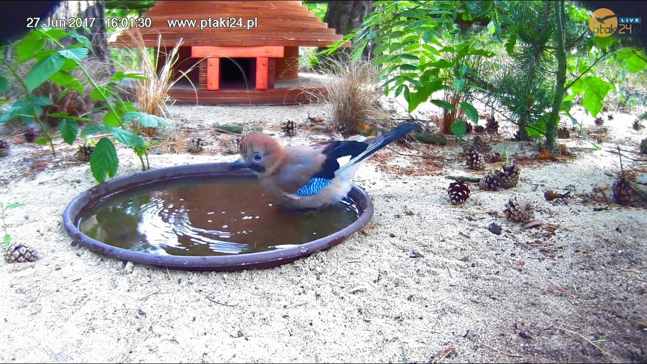 Zabawna kąpiel Sójki w pojemniku przed domkiem dla jeży