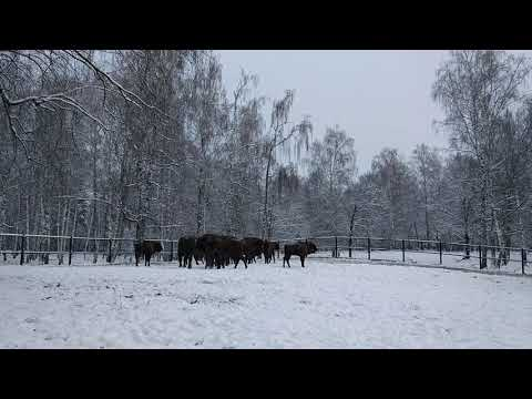 From Sweden to Russia - European bison travel