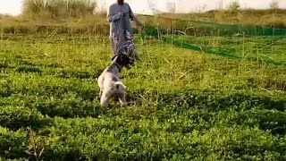 Quail hunting in Pakistan | very Beautiful video of Quail Hunting With Net and Pointer Dog