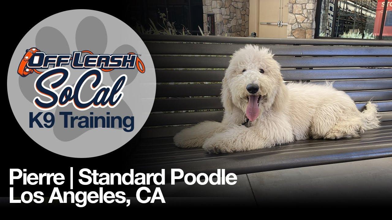 Pierre | Standard Poodle | Los Angeles, CA