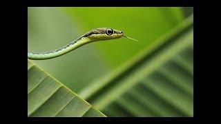 Common Bronzeback Tree Snake In Mysore Zoo
