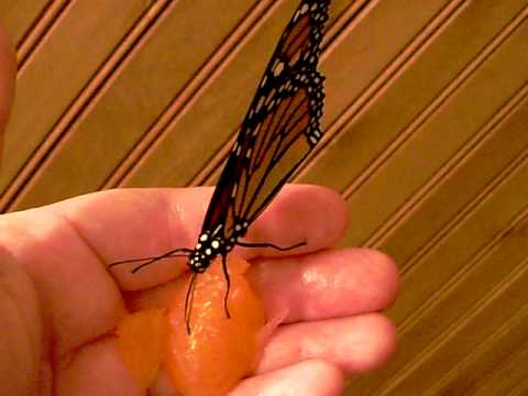 Monarch Erfly Eating Out Of My Hand