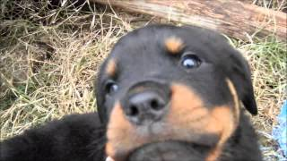 Aggressive Baby Rottweiler Pup