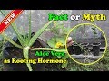 Aloe Vera For Natural Rooting Hormone   Fact Or Myth : Part#1 by Grafting Examples