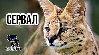 Сервал - дикая африканская кошка / Интересные факты о кошках
