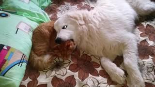 Маремма Ерофей. Дружба собаки и кота