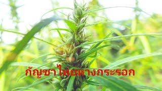 กัญชาสายพันธุ์ไทย หางกระรอก