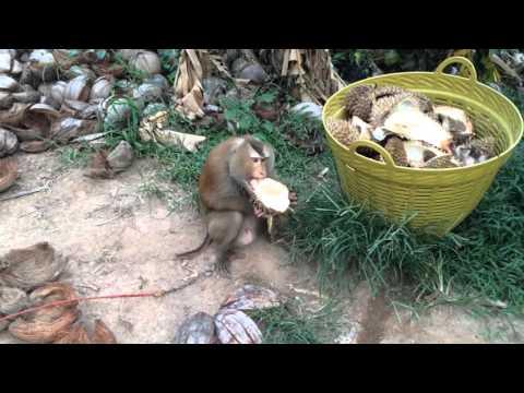 Thailand E03 Coconut farm, Ko Samui