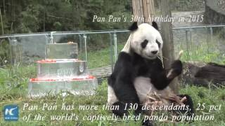 World's oldest male panda dies at age of 31