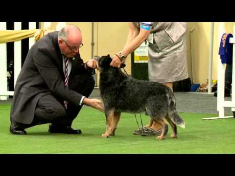 Australian Cattle Dog Royal Adelaide Show 2015