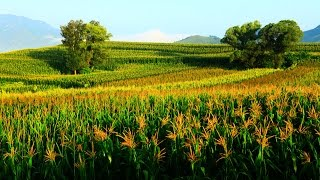 México mira más allá de EE. UU. para sus importaciones de maíz