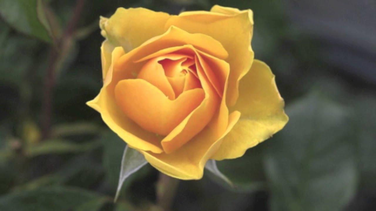 Rosas De Jardin #3: Maxresdefault.jpg