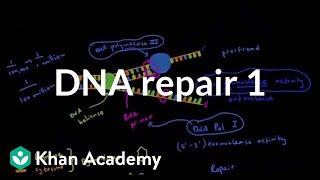 DNA repair 1