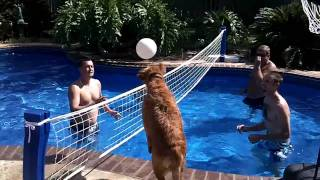 Dog Playing Volleyball