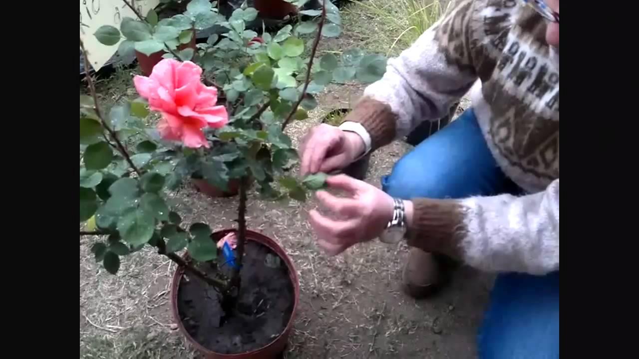 Tu Día Cómo Podar Las Rosas Para Obtener Las Mejores Flores Youtube