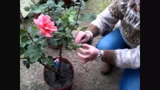 Tu Día. Cómo podar las rosas para obtener las mejores flores