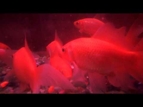 pet feeder fish