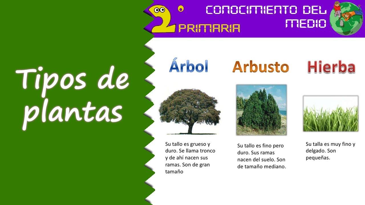 Cono 2 primaria tema 6 tipos de plantas youtube for Las caracteristicas de los arboles
