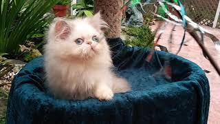 Persian & Himalayan kittens for sale by Liz