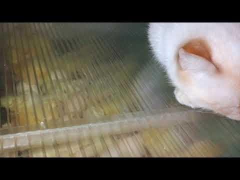 Инкубирование яиц Температура при выводе Когда доставать цыплят