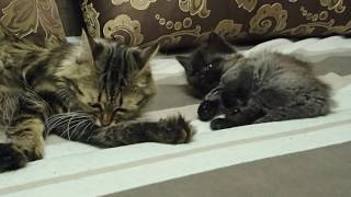 сибирские котята 1 месяц 16 дней.