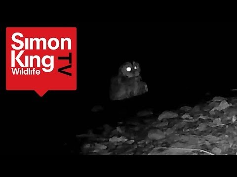 Rare View of a Tawny Owl Bathing