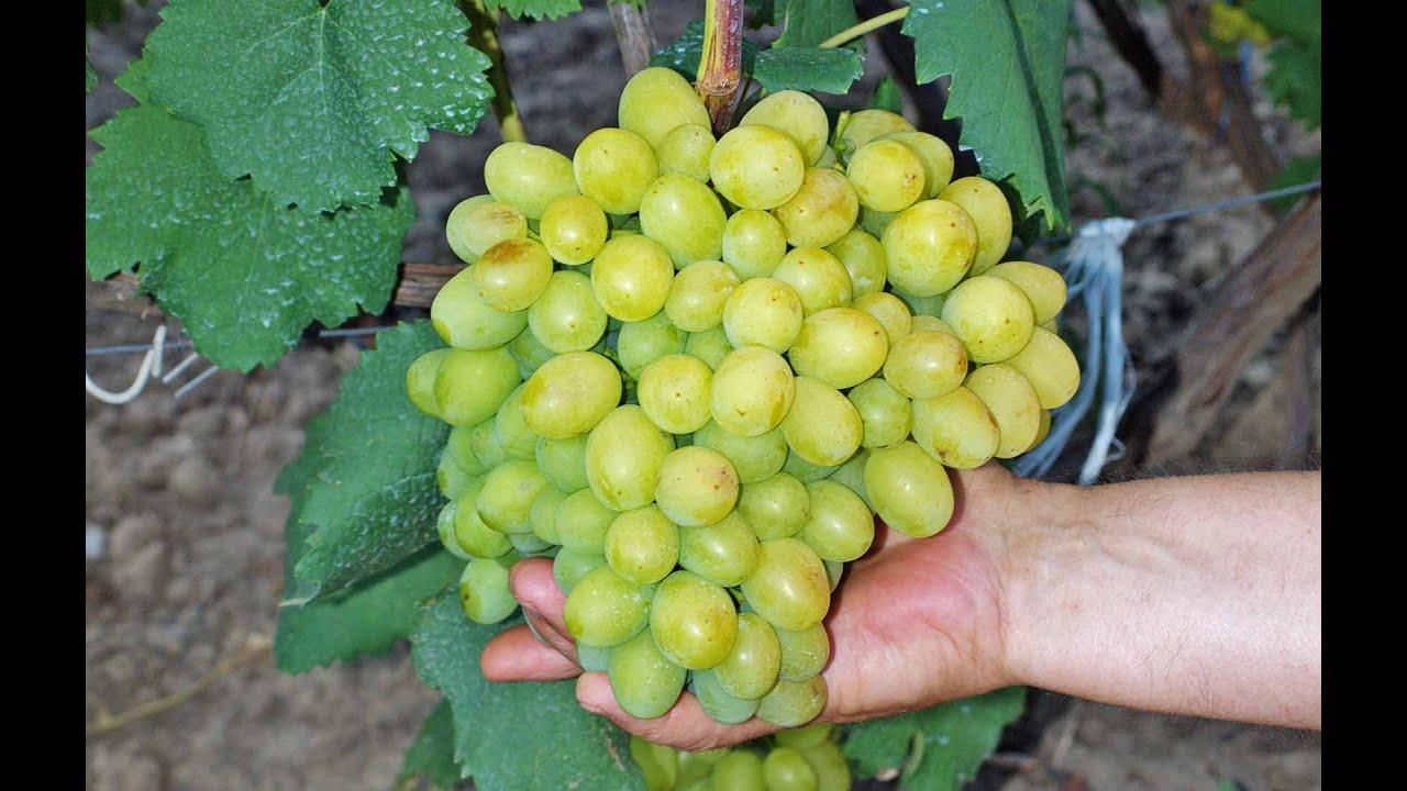 Виноград виктория  описание