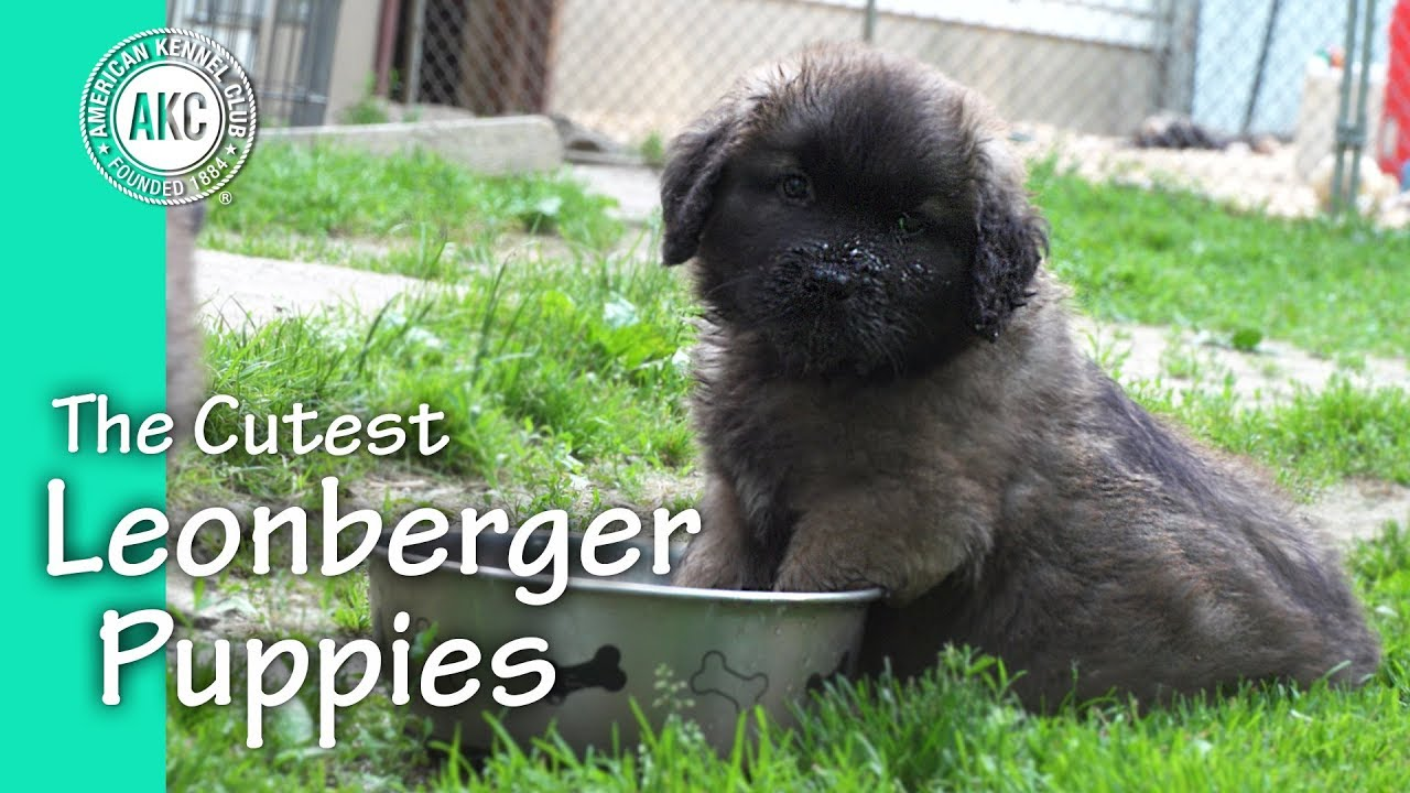 the cutest leonberger puppies