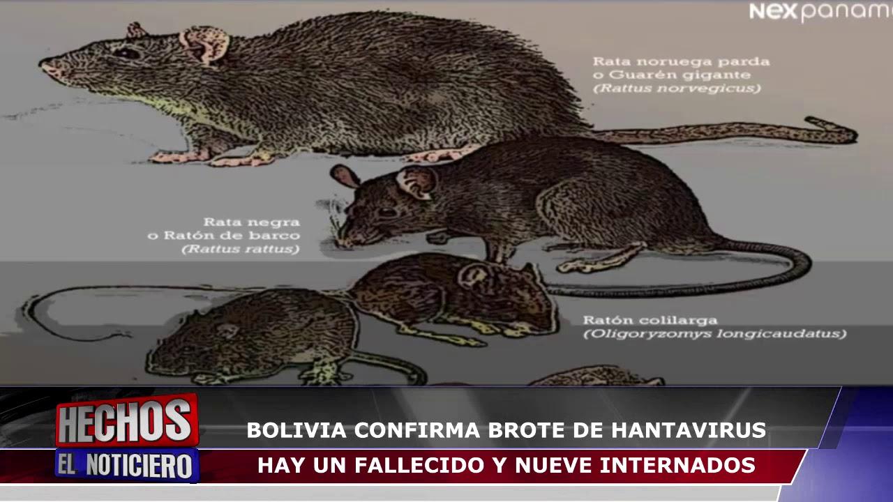 BOLIVIA CONFIRMA BROTE DE HANTAVIRUS HAY UN FALLECIDO Y NUEVE ...