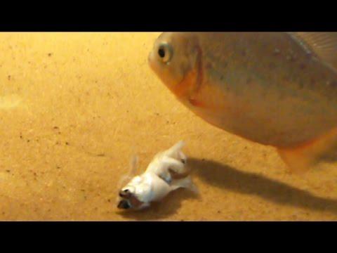 piranha eating a SMELT