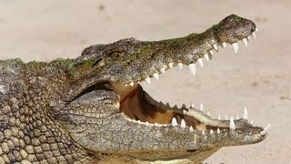 10 Amazing Facts About Crocodiles & Alligators