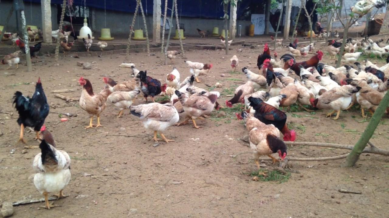 bán con giống gà mái có năng suất cao.sđt:0915167921