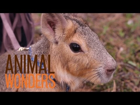Chili Pepper the Patagonian Cavy