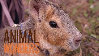 Chili Pepper the Patagonian Cavy thumbnail