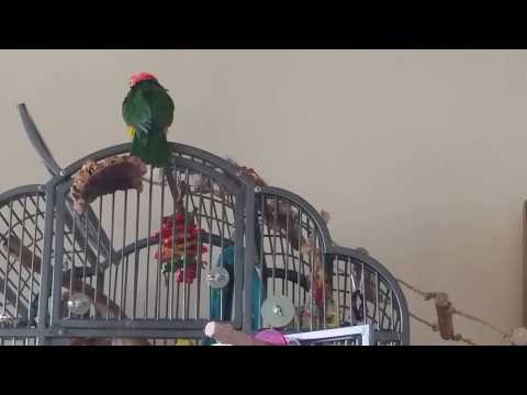 Storm the white bellied caique parrot washes his self in its own Parrot villa
