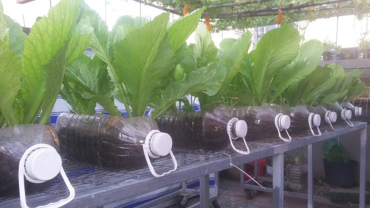 Cải Bẹ Xanh trồng bình 5 lít , ít đất mà rau vẫn xanh mướt ( phần 2 ) | Khoa Hiên 315