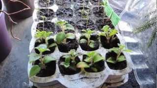 Goji Berry & Jacaranda Tree seedling Update!