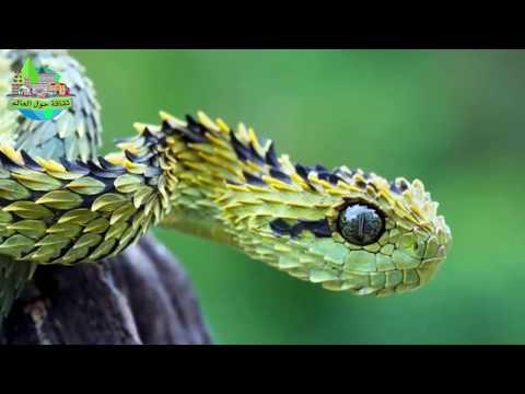 أغرب 5 أنواع ثعابين في العالم منها أفعى ذات القرون
