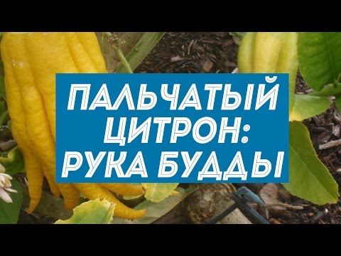 Пальчатый цитрон – экзотический фрукт под названием Рука Будды