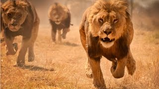 Львы хулиганы (Документальные фильмы, передачи HD)