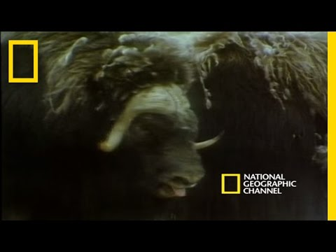 Musk Oxen vs. Arctic Wolves | National Geographic