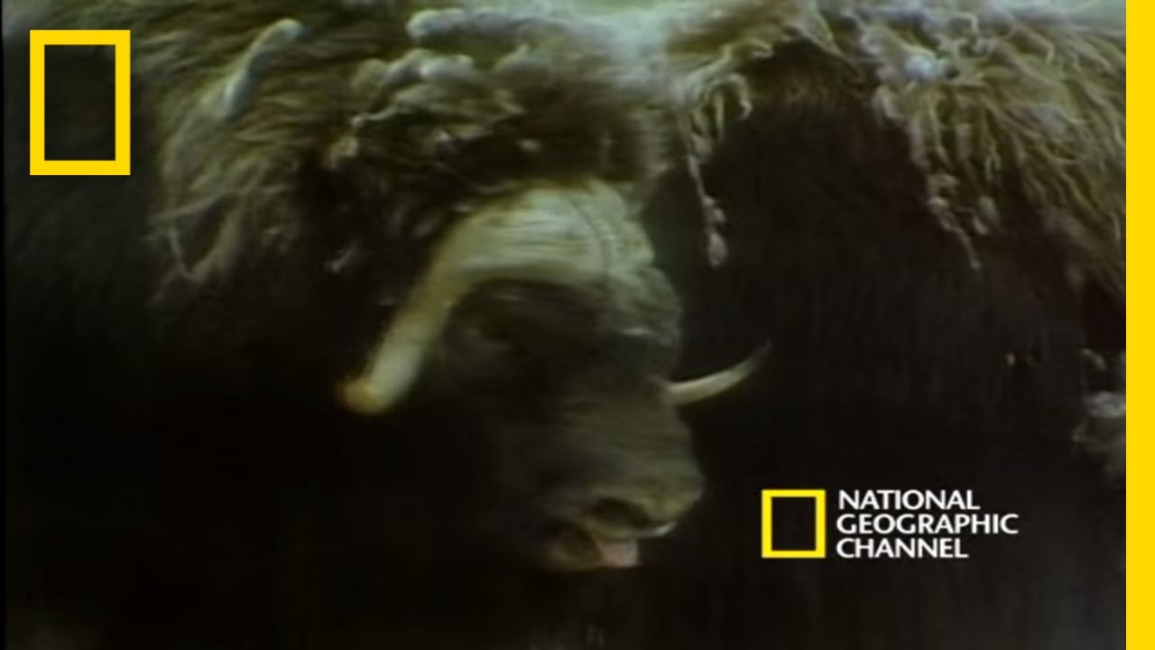 musk oxen vs arctic wolves national geographic youtube