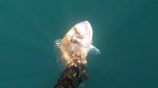 Дорада Подводная охота в Черном море