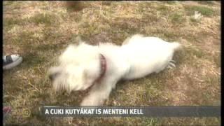 Westie Rescue Hungary Az Aktívban